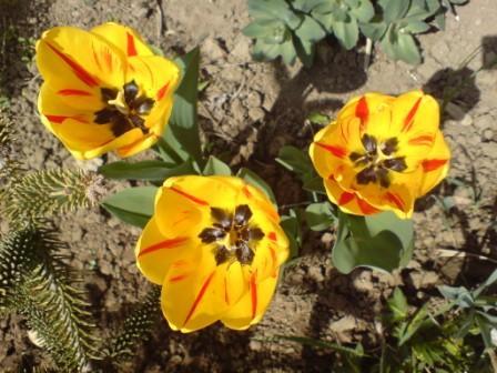 Žlté tulipány