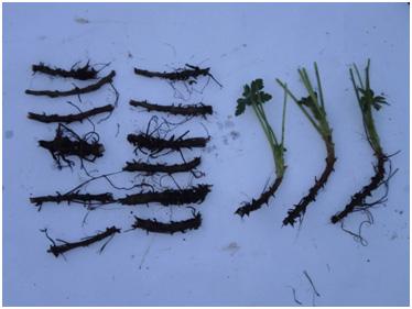 Obr.9 koreňové odrezky získané z rastliny na predchádzajúcom