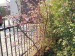 rozkvitnutý krík