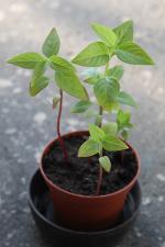 čínske semená - čo je to?