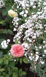 Kvitnúce ruže s gypsomilkou :)