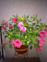 Čínske ruže