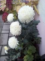 stále kvitnú