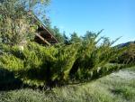 Borievka Mint Julep /Juniperus mint julep