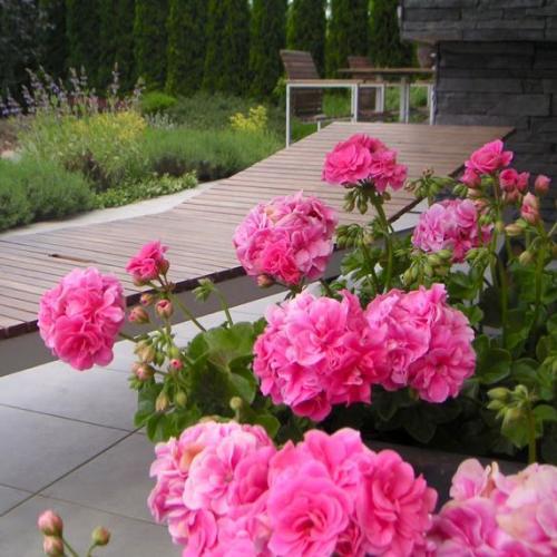 každý rok mám tieto ružové muškáty