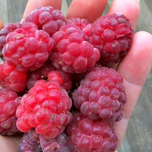 ovocné sady