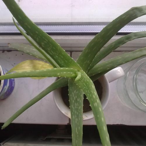 Je to naozaj Aloe vera?