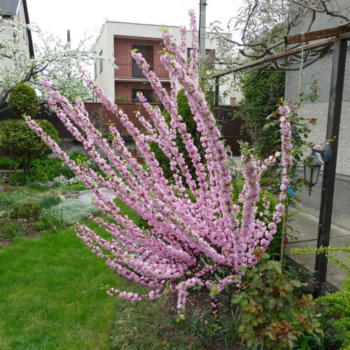 Mandľa v plnom kvete