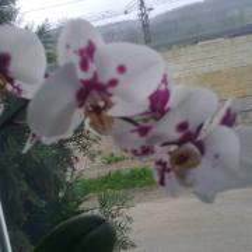moja orchidea