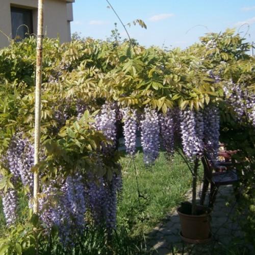 wistéria