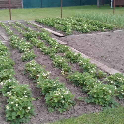 Naša jahodová plantáž:-)