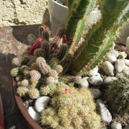 kaktusiky sa letnia