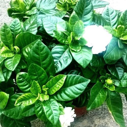 moja gardenia