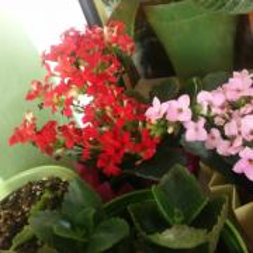 Kalanchoe kvitnú