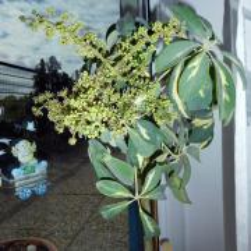 Kvitnúca šeflera