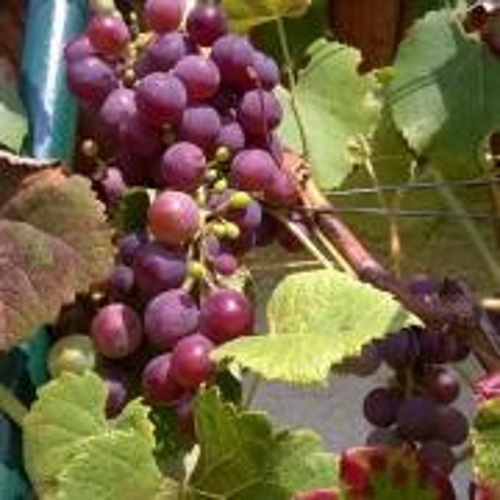Vinič Alden