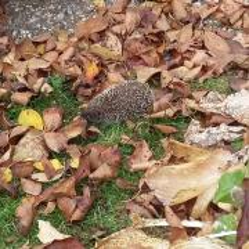 Máme vlastného ježka