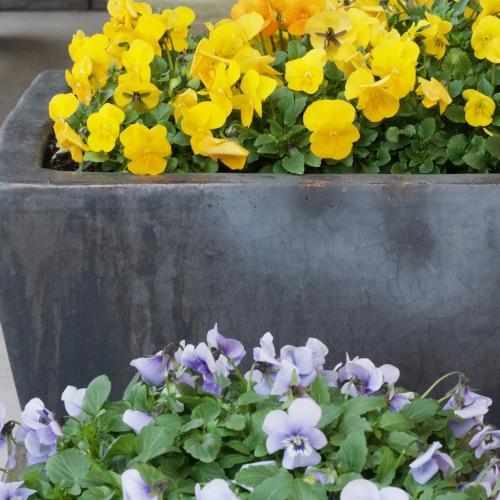 január a sirôtky stále v plnom kvete
