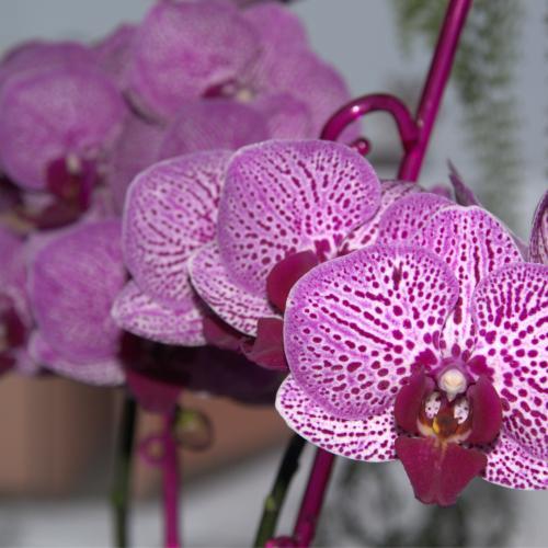 Moja 20 kvietková orchidejka :-)