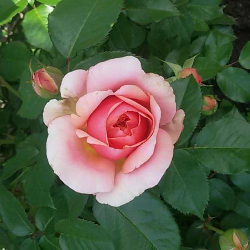 Začínajú kvitnúť ruže :)