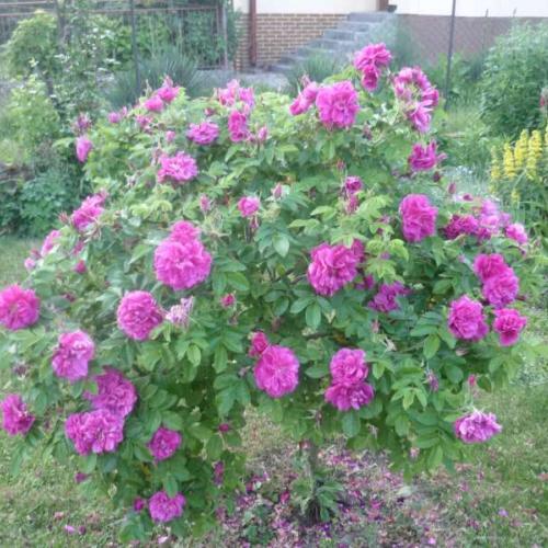 Ružovo-fialová na kmienku