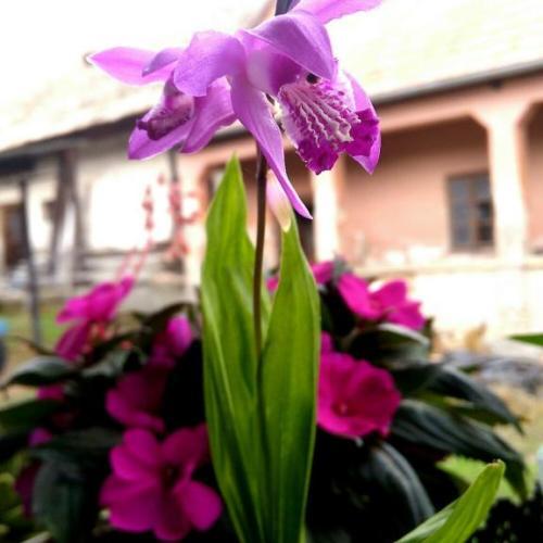 Záhradná orchidea