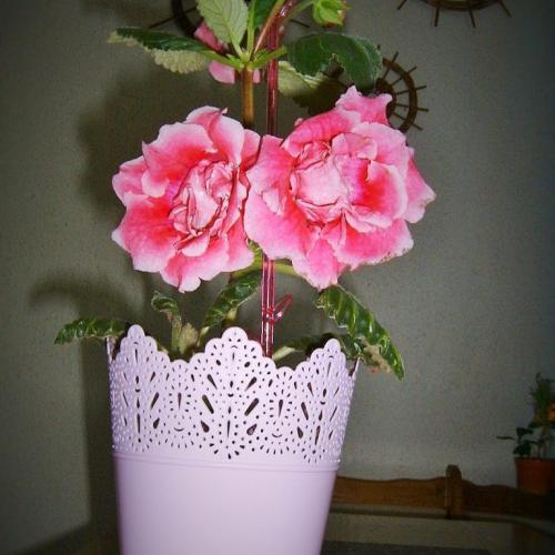 moje ružové gloxínie