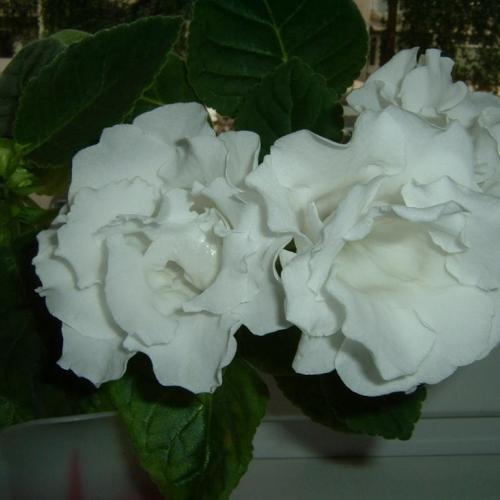 gloxínia biela plný kvet