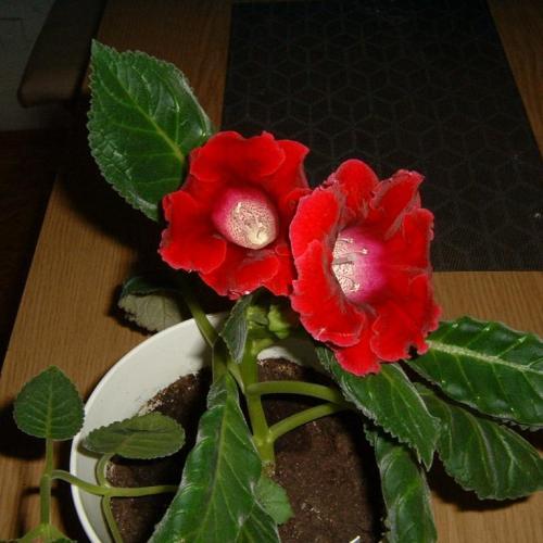gloxínia bordová prázdny kvet