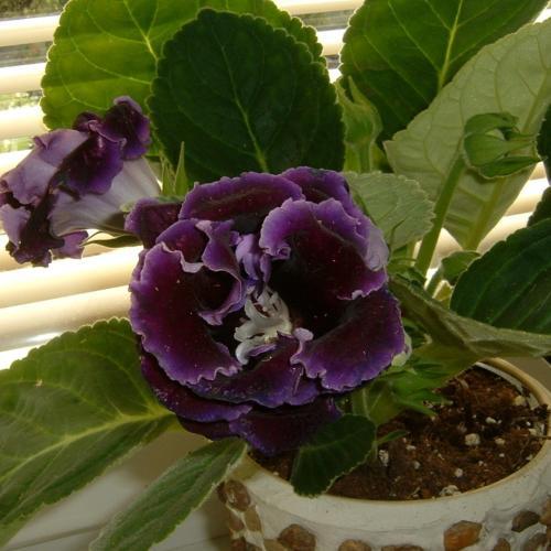 fialová gloxínia plný kvet