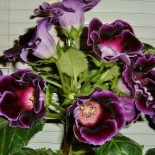 gloxínia fialová prázdny kvet