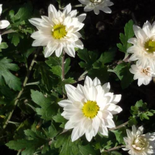 Moje chryzantémy sa stihli rozvinúť
