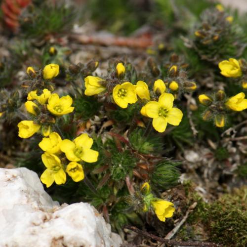 Žlté skalničky