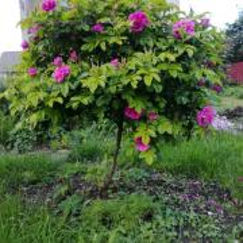 Moja divoká kráska už kvitne
