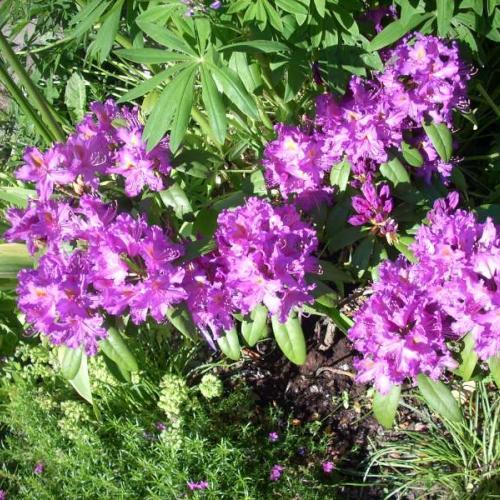 rododendróny v mojej záhrade