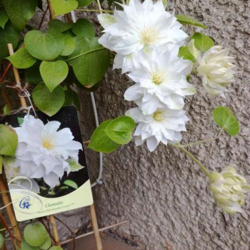 Aj biely už kvitne