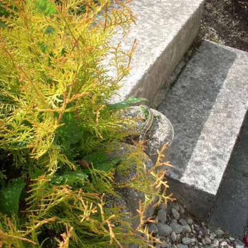 jašterička v našej záhrade