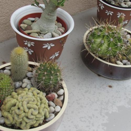 kaktusiky a sukulenty