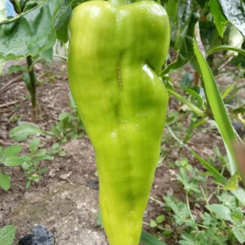Moja paprika