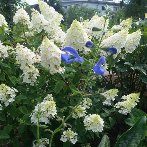Poznáte tento modrý kvet - prosim názov