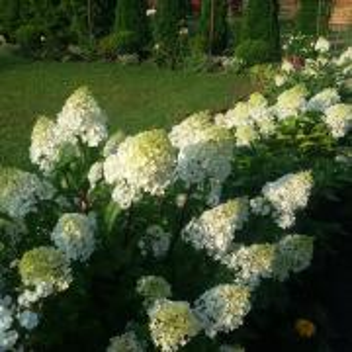 Hortenzie - Paniculaty Mega Mindy, Sundae fraise a ďalšie