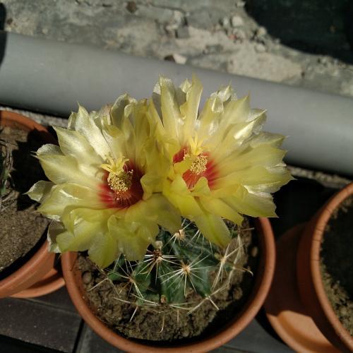 nový kaktus