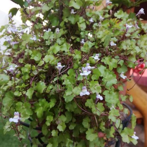 Kvetinka či burinka...?