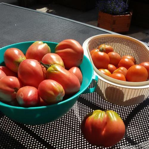 Moja druhá várka paradajok