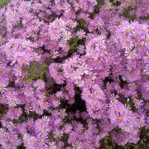 moje zatiaľ kvitnúce astry novobelgické
