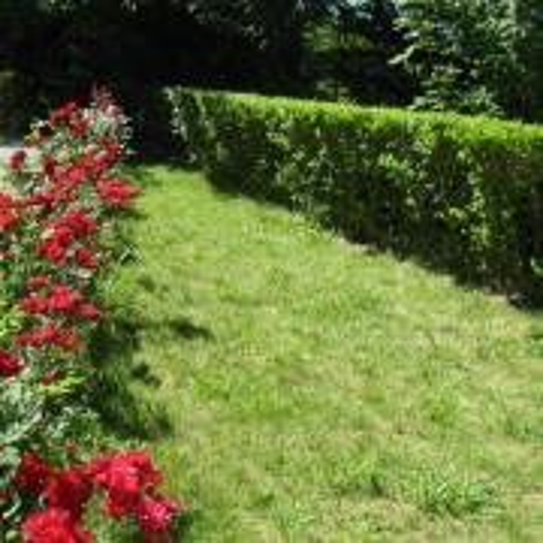 Ruže pri parkovisku
