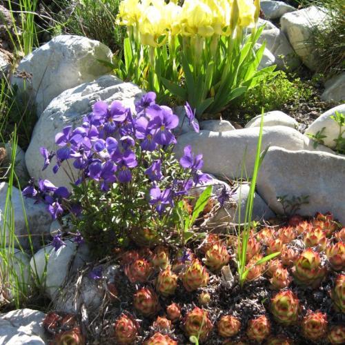 Irisy fialka a skalné ruže