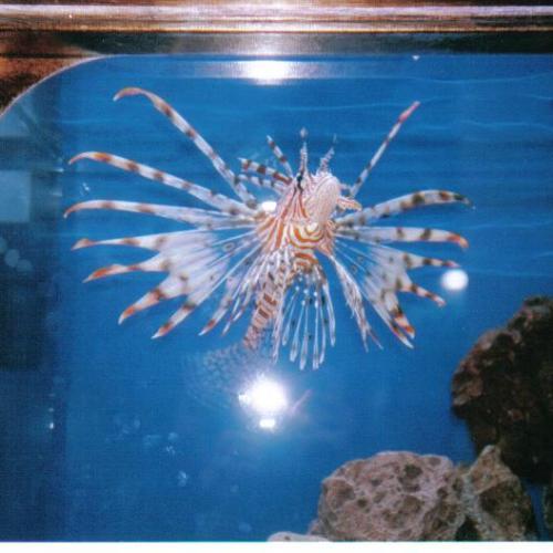 Morská nádhera v akváriu - Pterois Antennata