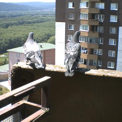 Holuby na balkóne