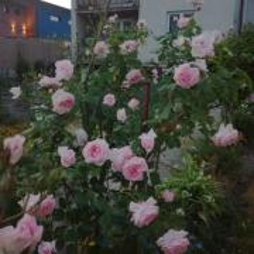 Kvitnú ruže